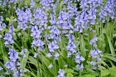 Flowery λιβάδι των πορφυρών λουλουδιών Στοκ Φωτογραφίες