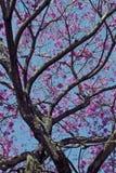 Flowery ρόδινο ipe κάτω από τον ασυννέφιαστο μπλε ουρανό Στοκ φωτογραφίες με δικαίωμα ελεύθερης χρήσης