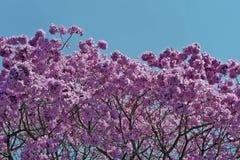 Flowery ρόδινο ipe κάτω από τον ασυννέφιαστο μπλε ουρανό Στοκ εικόνα με δικαίωμα ελεύθερης χρήσης