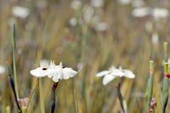 Flowery τομέας της δίχρωμης ίριδας Στοκ φωτογραφία με δικαίωμα ελεύθερης χρήσης