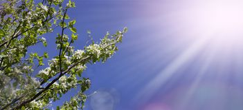 Flowery almond. Detail and blue sky royalty free stock photos