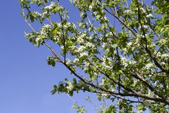 Flowery almond. Detail and blue sky royalty free stock image