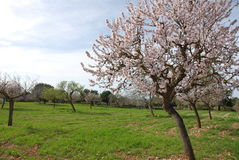 Flowery Almond Tree (spring) Stock Photography