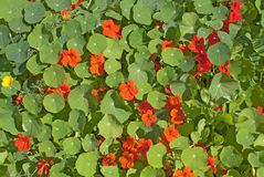 Flowery Background. Bright background with orange flowers and green leaves Stock Photography
