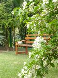 Flowery bush with wooden bench in the background. Bougainvillea bush on the lawn, with wooden bench in the background in sunny day Stock Image