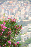 Flowery city2. Bunch of Pink flowers above the city of beirut ,lebanon Royalty Free Stock Photos
