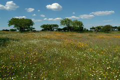 Flowery field. Landscape royalty free stock photography