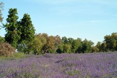 Flowery field with blue flowers Royalty Free Stock Photography