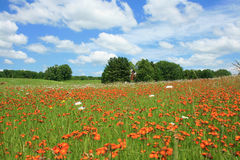 Flowery Fields. Orange and white wild flowers grow in field with vast blue sky and pillow white clouds in sky Royalty Free Stock Image