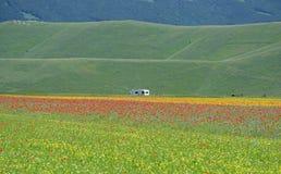 Flowery fields in Pian Grande near Castelluccio di Norcia, Umbria, Italy stock image
