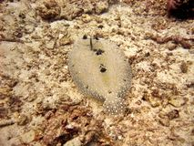 Flowery Flounder Stock Images