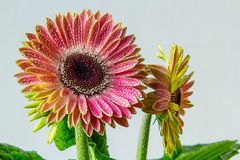 Flowery gerbera flower in sunny colors Royalty Free Stock Image