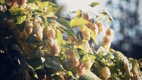 Humulus lupulus hops growing stock footage