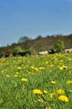 Flowery meadow Royalty Free Stock Images