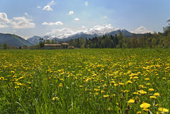 Flowery meadow Royalty Free Stock Photography