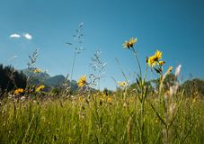 Meadow with dandelion Stock Image