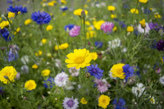 Flowery meadow Stock Image