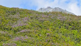 Flowery meadow with purple flowers. In the high mountains, in August royalty free stock photography