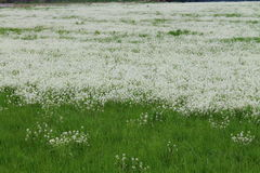 Flowery meadow. With white flower royalty free stock image