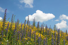 Flowery meadow of wildflowers against blue sky with cloud. Flowery meadow of golden oxeye marguerites and purple blueweed flowers on a slope, against blue sky Royalty Free Stock Photography
