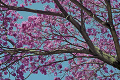 Flowery pink ipe under the cloudless blue sky Royalty Free Stock Images