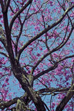Flowery pink ipe under the cloudless blue sky Royalty Free Stock Photos