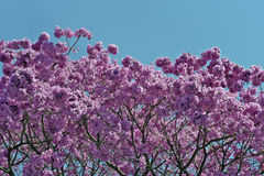 Flowery pink ipe under the cloudless blue sky Royalty Free Stock Image