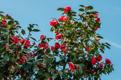 Flowery red camellia Royalty Free Stock Images