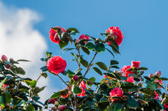 Flowery red camellia Royalty Free Stock Photos