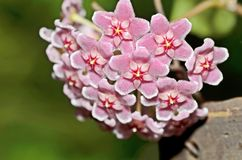 A flowery wax plant or Hoya stock photos