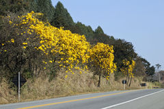 Flowery yellow ipe tree on the road Royalty Free Stock Photos