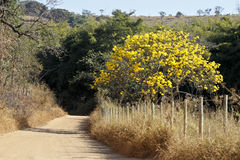 Flowery yellow ipe tree on the road Royalty Free Stock Image