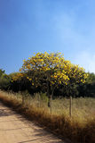 Flowery yellow ipe tree on the road Stock Images