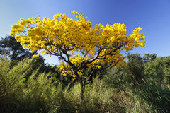 Flowery yellow ipe tree in the woods. Flowery yellow ipe tree in the forest with blue sky royalty free stock images
