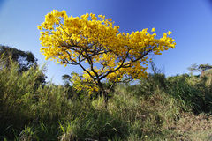 Flowery yellow ipe tree in the woods Royalty Free Stock Images
