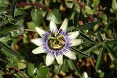 Flowes della passiflora commestibile Fotografia Stock Libera da Diritti