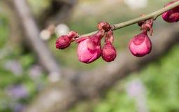 Flowes i vårserie: rött blomstra för plommon Royaltyfria Bilder