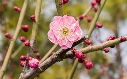 Flowes i vårserie: rött blomstra för plommon Arkivfoto