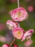 Flowes i vårserie: rött blomstra för plommon Royaltyfri Foto