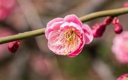 Flowes i vårserie: rött blomstra för plommon Arkivfoton