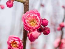 Flowes i vårserie: rött blomstra för plommon Royaltyfri Bild