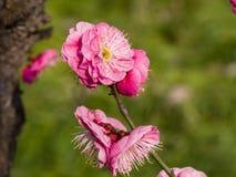 Flowes i vårserie: rött blomstra för plommon Fotografering för Bildbyråer
