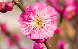 Flowes i vårserie: rött blomstra för plommon Arkivbild