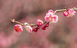 Flowes in spring series: red plum blossoming Royalty Free Stock Images