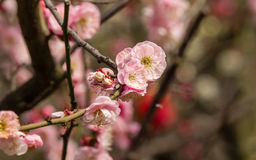 Flowes in spring series: red plum blossoming Stock Photo