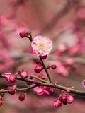 Flowes in spring series: red plum blossoming Royalty Free Stock Photography