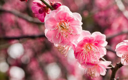Flowes in spring series: red plum blossoming Stock Images