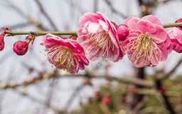 Flowes in spring series: red plum blossoming Royalty Free Stock Photo