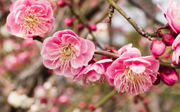 Flowes in spring series: red plum blossoming Royalty Free Stock Photos