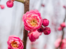 Flowes in spring series: red plum blossoming Royalty Free Stock Image